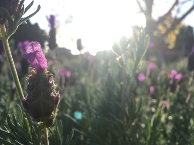 Lavender at sunrise